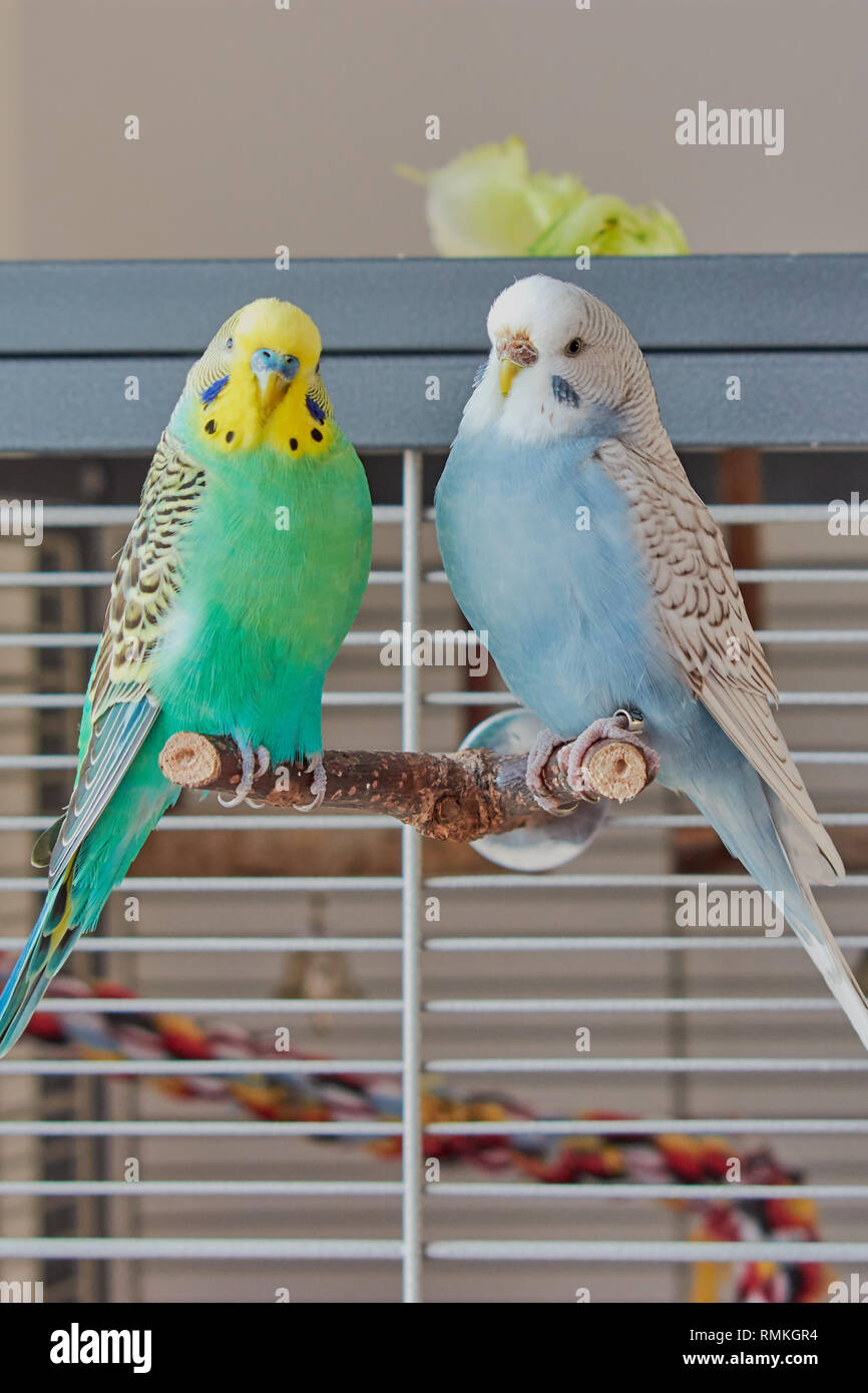 Bird Cage Budgie Stock Photos & Bird Cage Budgie Stock