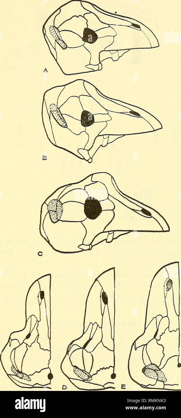 . Annals of the South African Museum = Annale van die Suid-Afrikaanse Museum. Natural history. THE FAUNA OF THE TAPINOCEPHALUS ZONE 43. Fig. 12. Tapinocephalinae represented by: A. Phocosaurus  B. Mormosaurus >Skulls in lateral view. C. Keratocephalus J D. Phocosaurus ] E. Mormosaurus >Skulls in dorsal view. F. Keratocephalus J. Please note that these images are extracted from scanned page images that may have been digitally enhanced for readability - coloration and appearance of these illustrations may not perfectly resemble the original work.. South African Museum. Cape Town : The Mu - Stock Image