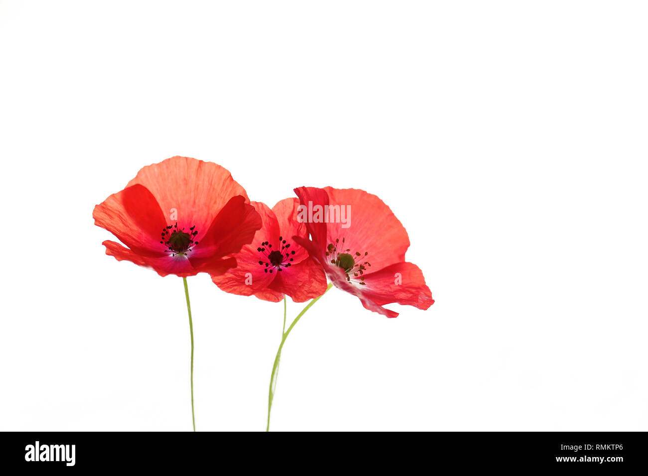 Poppy with red petals looks beautiful in bouquets - Stock Image