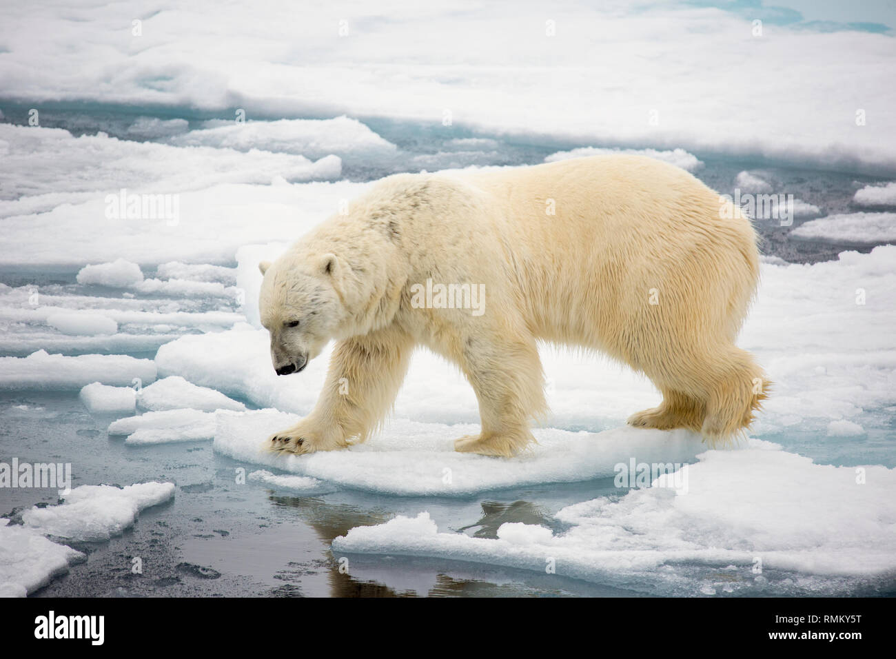 A Polar Bear (Ursus maritimus) hunting seals on rotten sea ice off the north coast of Spitsbergen, Svalbard only 500 miles from the North Pole. Climat - Stock Image