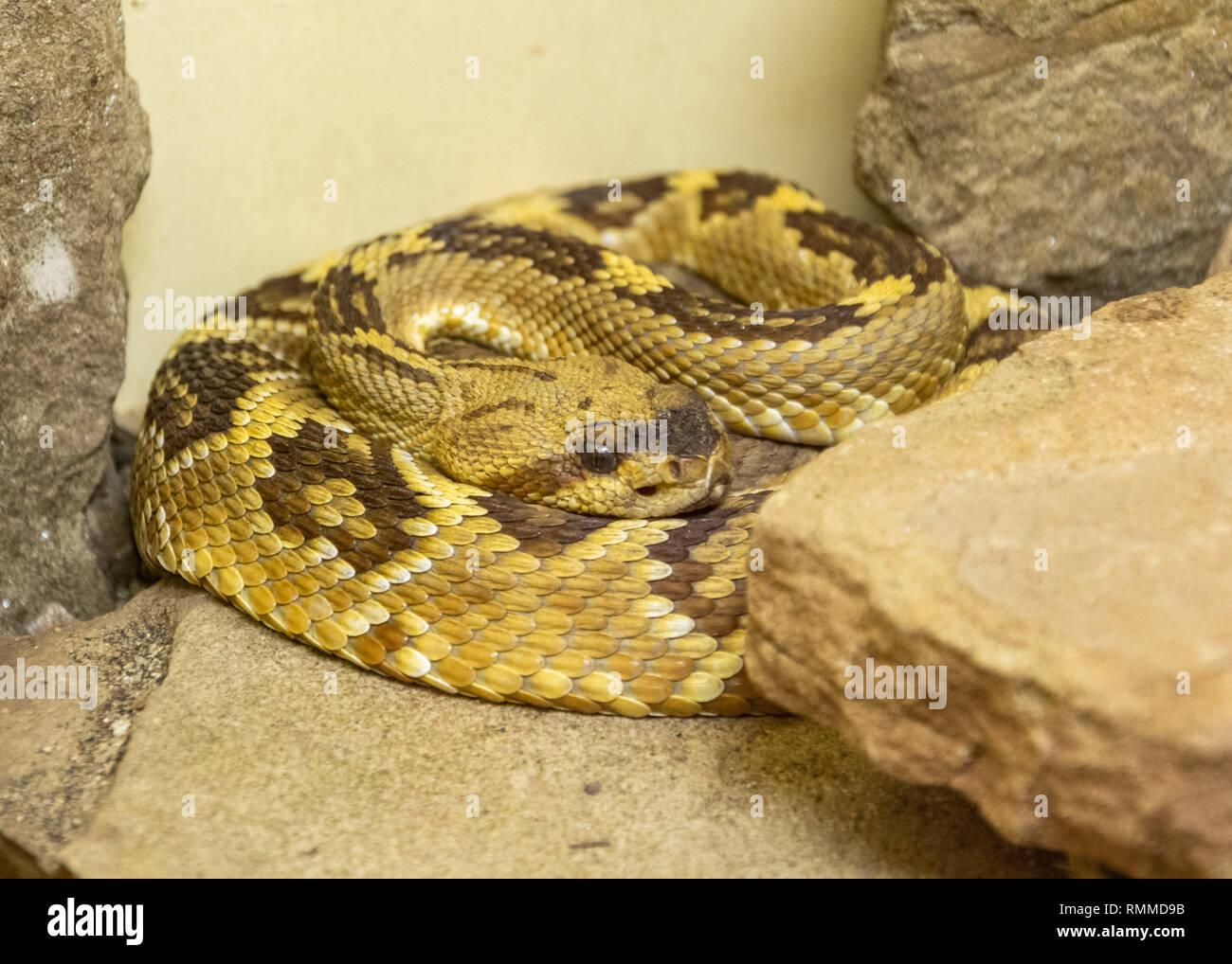 Black-tailed Rattlesnake (Crotalus molossus) among rocks Stock Photo