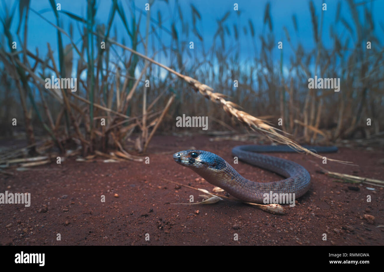 Eastern hooded scaly-foot lizard (Pygopus schraderi) in a wet wheat field, Australia - Stock Image