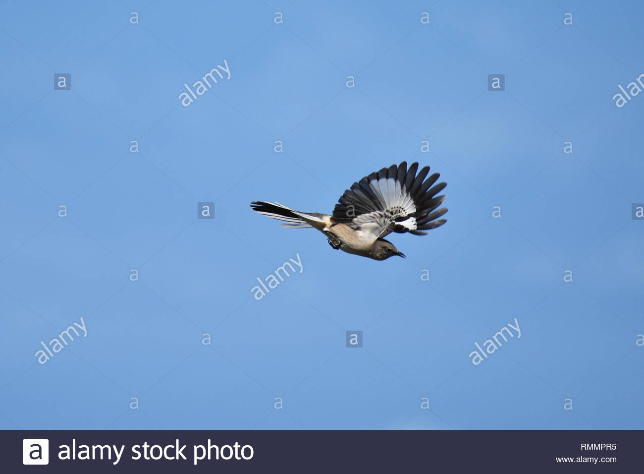 Flying polyglot mockingbird with blue sky - Stock Image