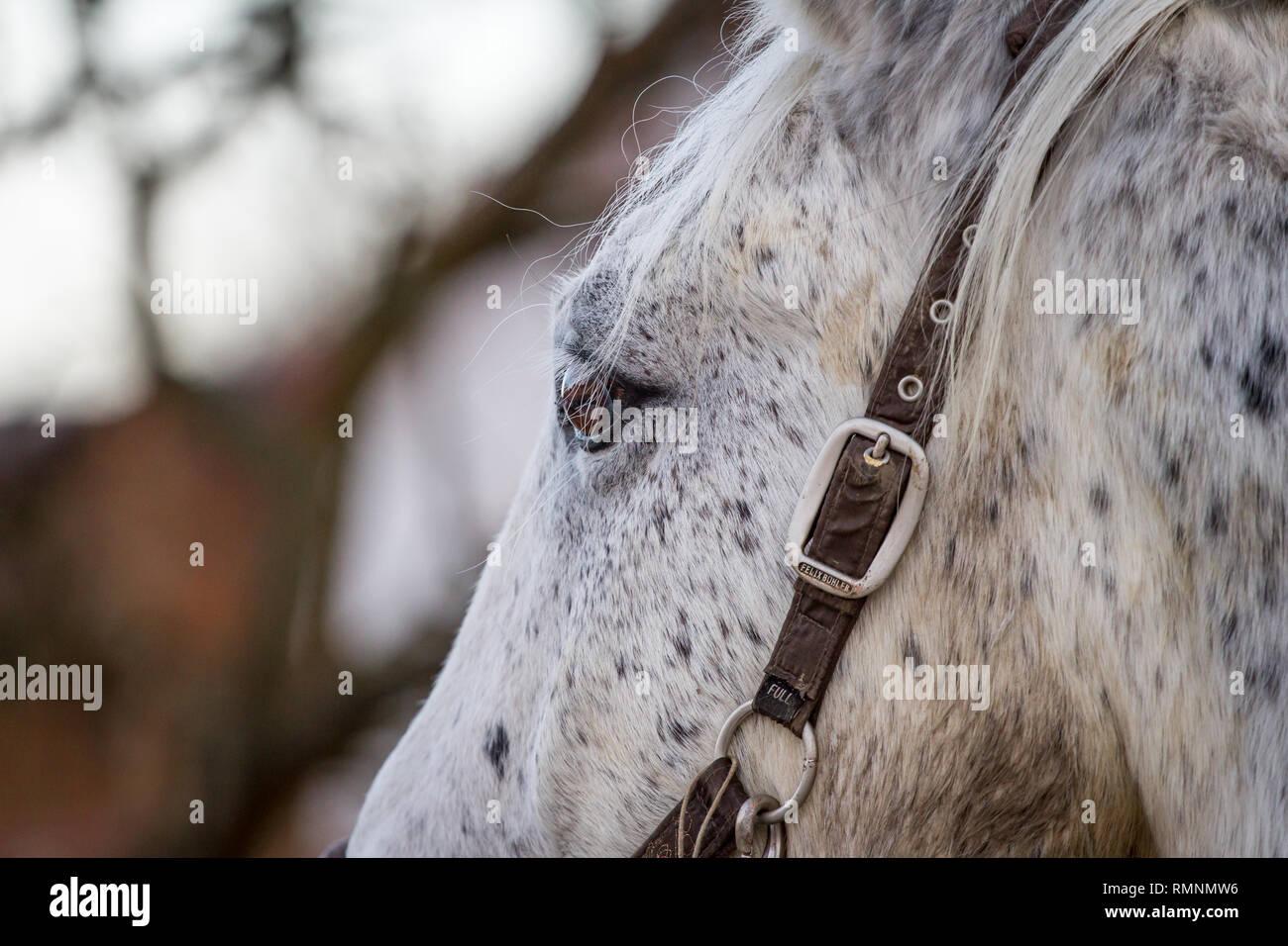 Dapple grey horse - Stock Image