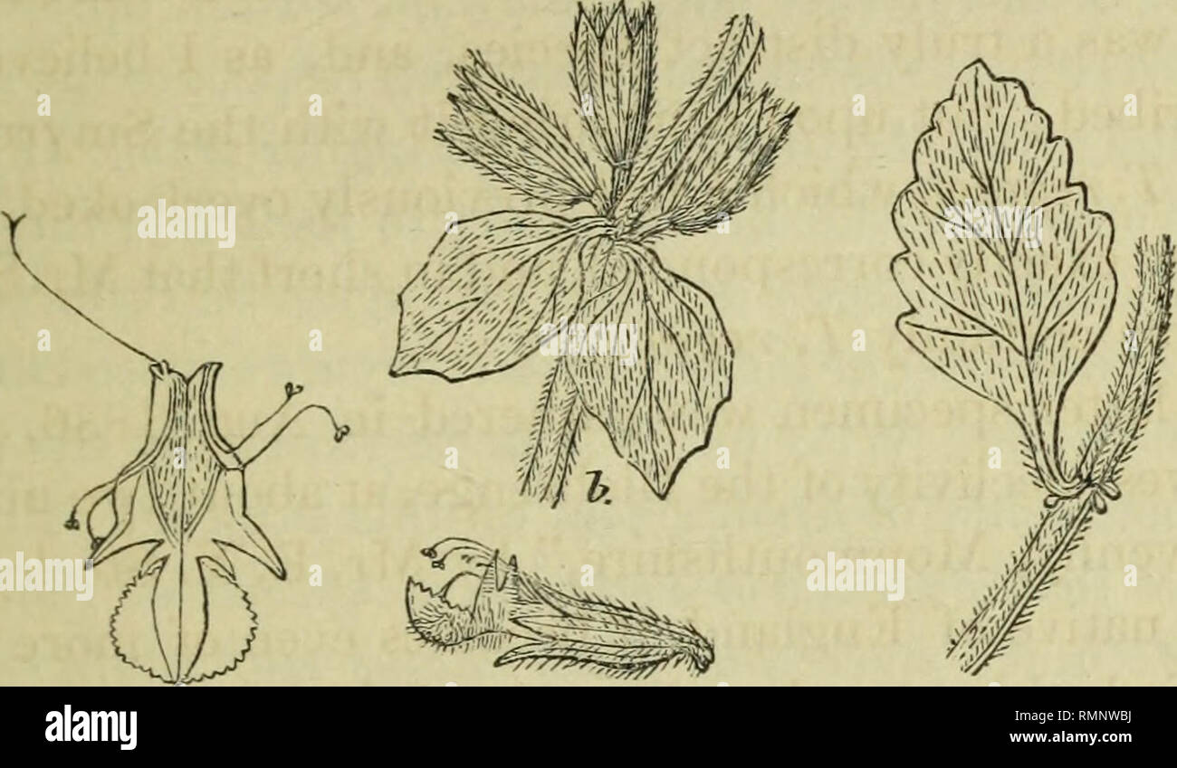 . Annals of natural history. Natural history; Botany; Zoology; Geology. Dr. Miram on the Vitality of Intestinal Worms. 377 each verticillastrum, rather larger than those of T. chamadrys, shortly stalked; calyx between tubular and bell-shaped, about as long as the floral leaves, the teeth lanceolate, nearly equal, slightly spreading, slightly tinged with purple; corolla yellow with a darker reddish tip, bearded below, and with a broad Teucrium regium.. d. c. a. band of hairs pointing downwards on the under side within the tube. This plant is distinguished from T. chamcedrys by the di- stinct li - Stock Image
