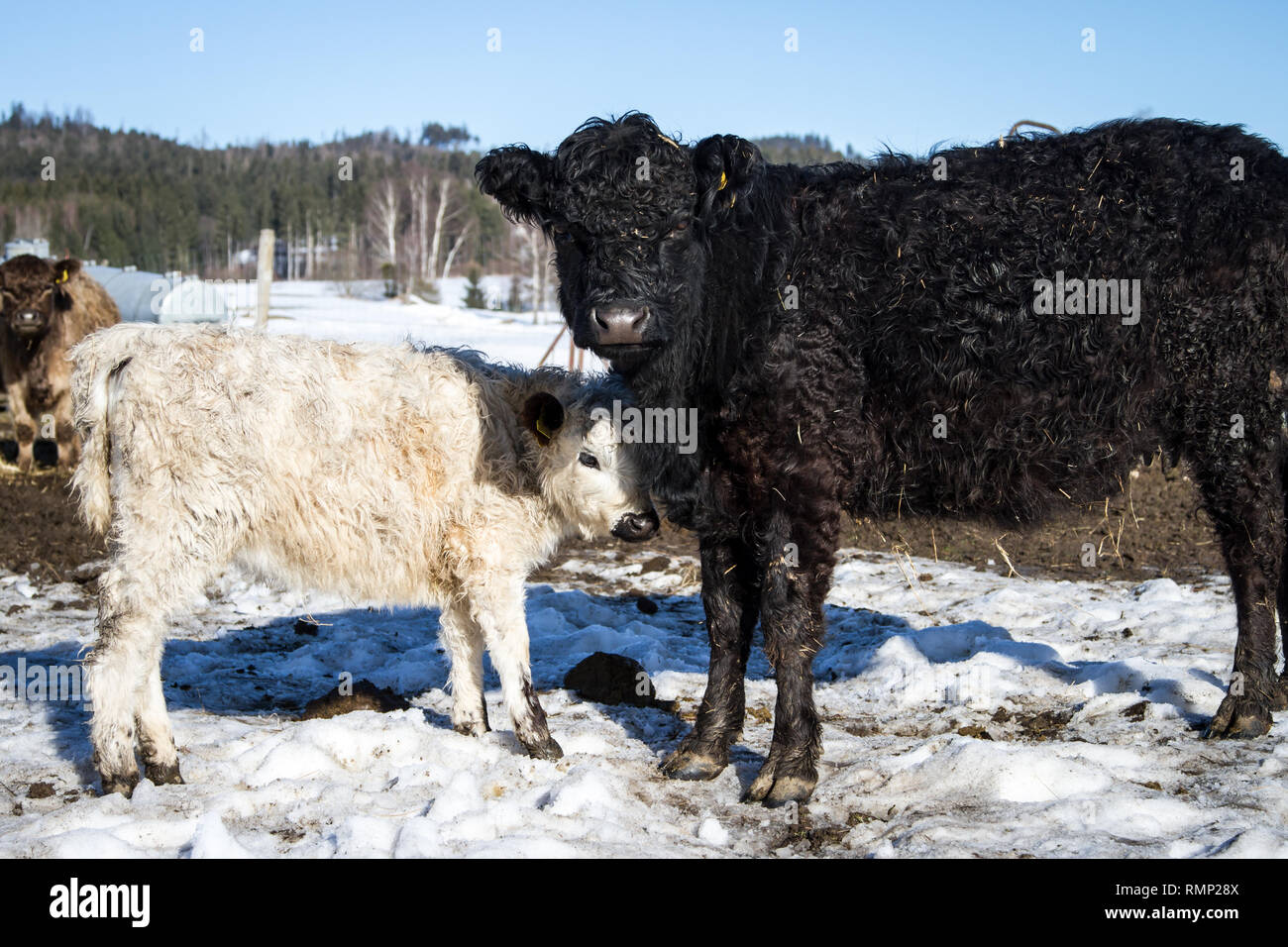 Galloway cattle, calf and mother animal (Bos primigenius taurus) in free range Stock Photo