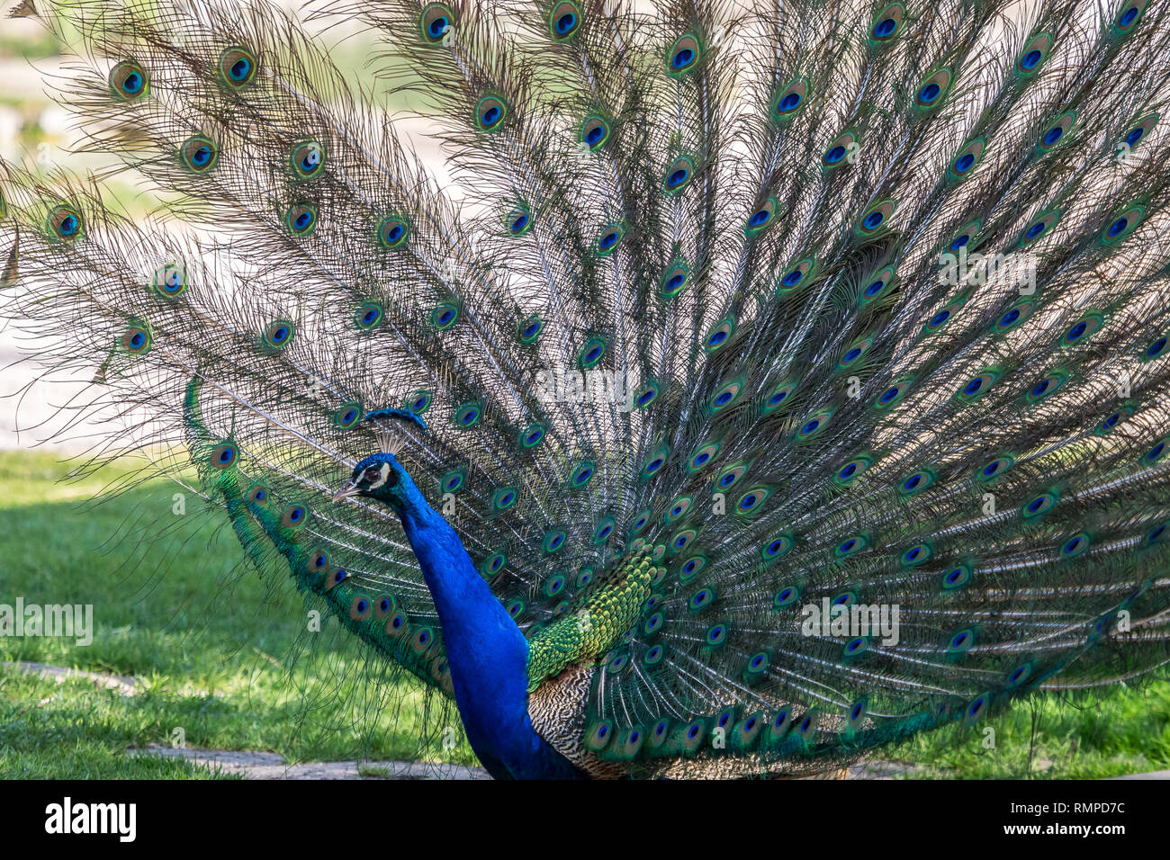 Indian Peacock or Blue Peacock, Pavo cristatus in the zoo - Stock Image