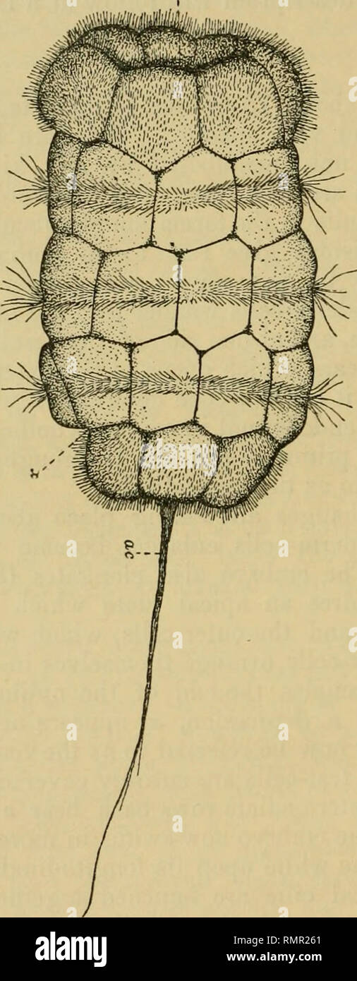 . The Annals and magazine of natural history; zoology, botany, and geology. Natural history; Zoology; Botany; Geology. 268 Mr. G. A. Drew on the embryo, but never forms a distinct invagination. At most it is only slightly concave when viewed from above, and soon becomes arched outward. These changes are accompanied by the formation of the mid-gut, a term that is not intended Fig. 1.. External appearance of an embryo of forty-four hours. ac, apical ciUa ; bl, blastopore ; x, ventral depression. to include the ventral tube, which is of unknown origin. From the beginning it is connected with the  Stock Photo