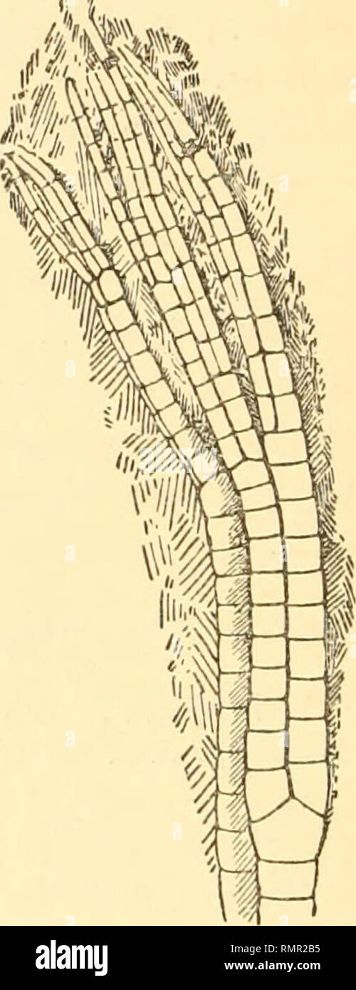 . The Annals and magazine of natural history; zoology, botany, and geology. Natural history; Zoology; Botany; Geology. 198 Mr. F. A. Bather on British Fossil Crinoids irregular and numerous, as in Botryocrinus, but appear to be more or less alternating- (zincotype, figs. 3 and 4). The total length of the arms in 57048 B.M. is 11 centim. 1J, the usual number being 8. their width 3 millim. I Br number from 7 to Their height is 1*4 millim. II Br 9, 10, or 11. III Br from 9 to 14. IV Br from 12 to 26. V Br numbers noted 17 and 22. VI Br numbers noted 16 and 25. VII Br 15 observed. VIII Br and IX B - Stock Image