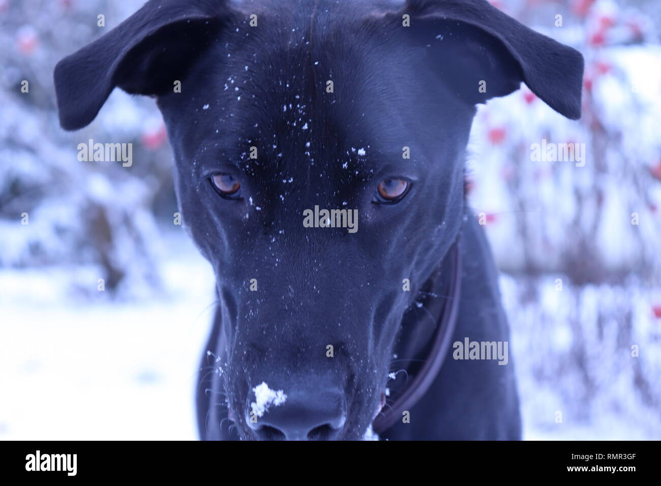 Black Lab playing in the snow - Stock Image
