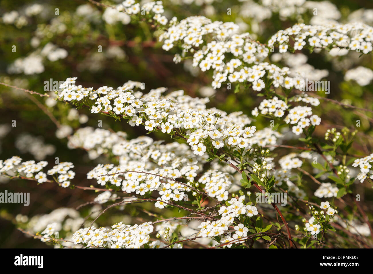 Arbusto Fiori Bianchi.Beautiful Spring Flowers Blossoming On A Shrub White Spiraea