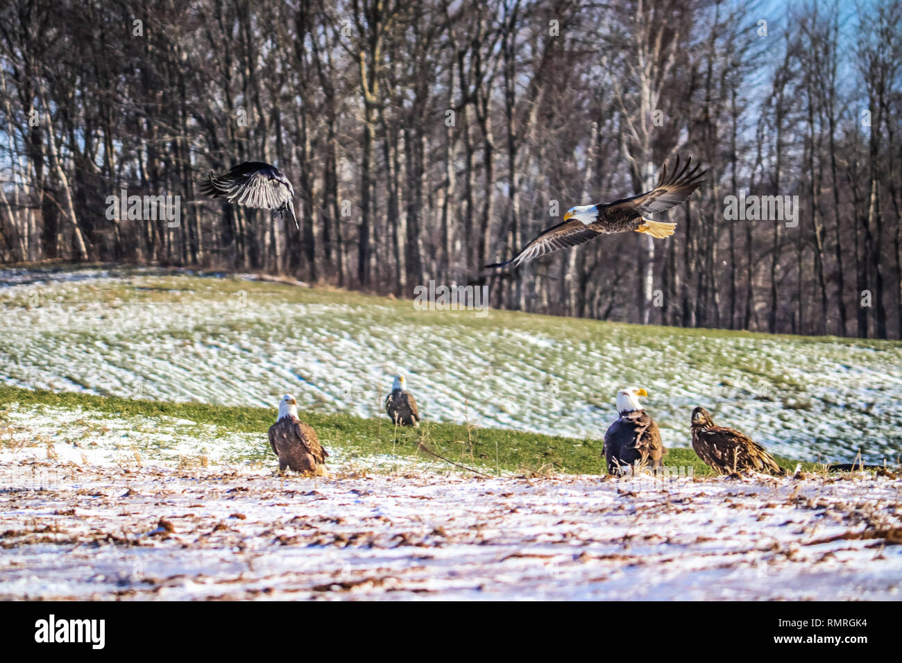 A bald eagle flying in for landing as a raven flees to safety. - Stock Image