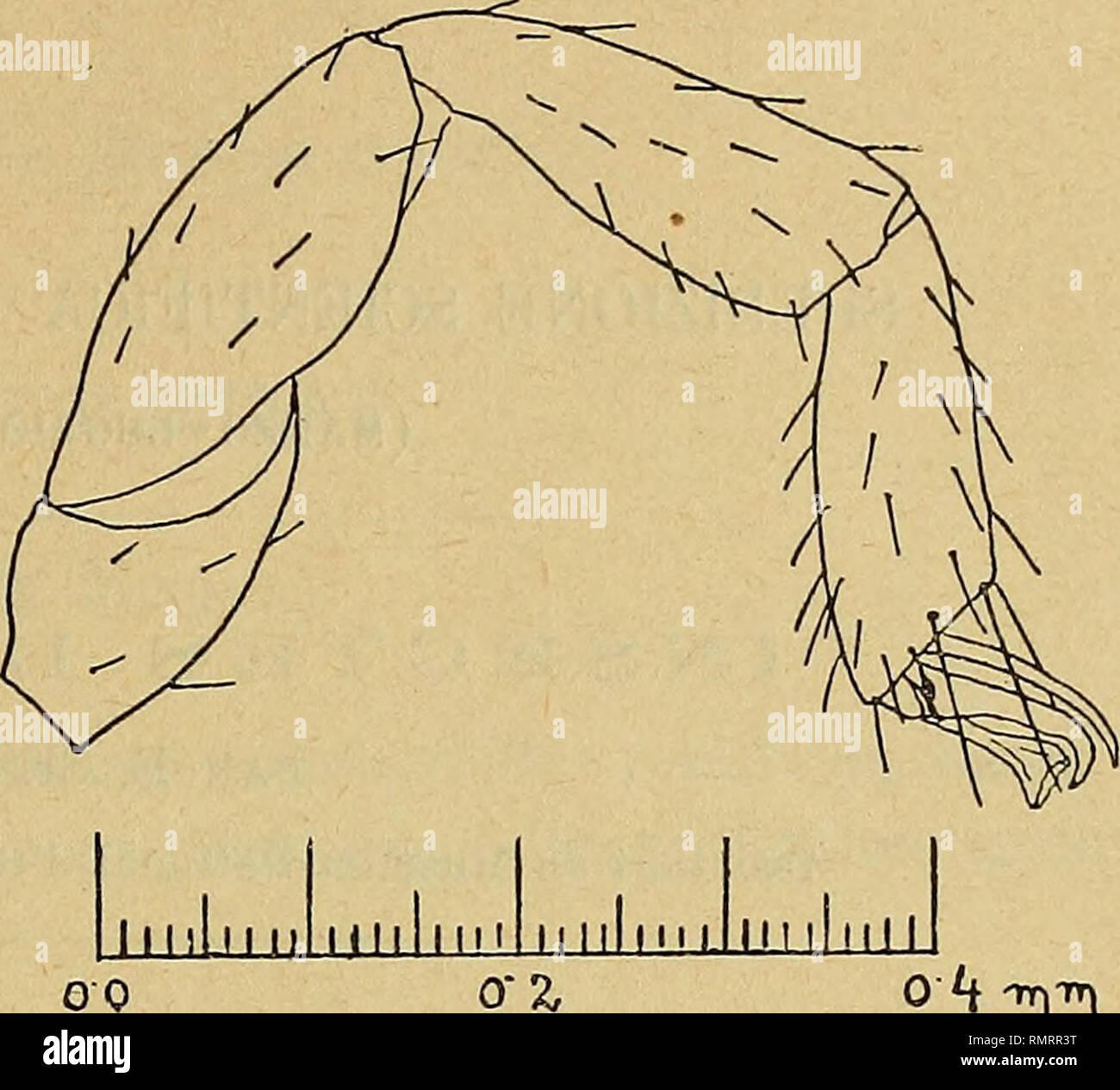 . Annali del Museo civico di storia naturale Giacomo Doria. Natural history. SPEDIZIONE A CUFRA 489 und distai in der Hòhe des Vordereckes am breitesten. Klauen asymmetrisch, ohne Nebenzahn. Subterminalborste gezàhnt. — Kòrper L. cf 2.0 mm., 9 2.3-2.5 mm., Palpen: cf Femur L. 0.65 mm., B. 0.20 mm.. Tibia L. 0.55 mm., B. 0.23 mm., Hand L. 0.62 mm., B. 0.32 mm., Finger L, 0.45mm.; 9 Fe- mur L. 0.67 mm., B. 0.21 mm., Tibia L. 0.58 mm., B. 0.25 mm.. Hand L. 0.65 mm., B. 0.34mm., Finger L. 0.48 mm. Typen: 1 cT, 2 9 9, 3 juv.. Oasi di Gialo, Juli 1931 (das Mfinnchen wohl vollstàndig erwachsen, jedoc - Stock Image