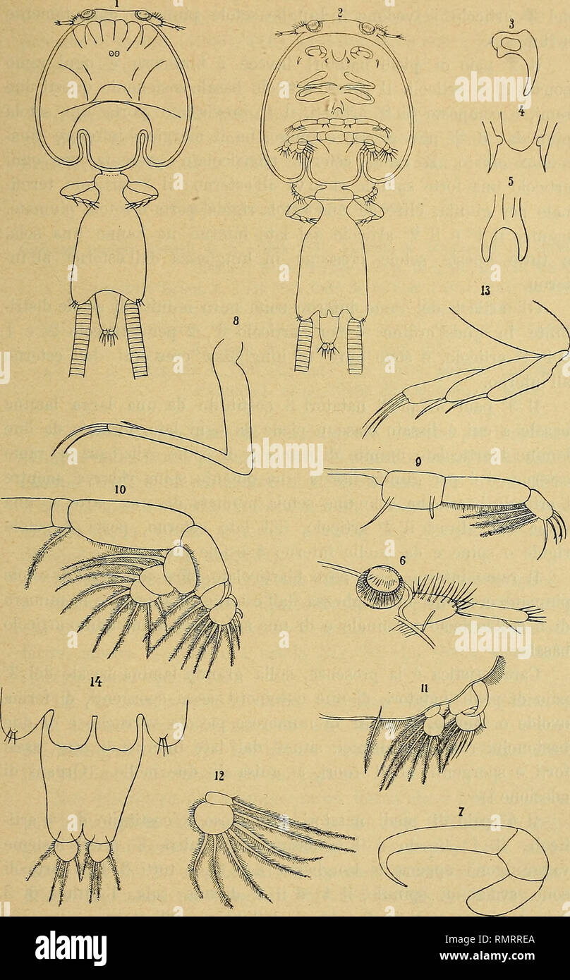 """. Annali del Museo civico di storia naturale Giacomo Doria. Natural history. CALIGUS DEL MEDITERRANEO 169. Fig. VII. — Caligus lichiae Briau Q 1, Q vista dal lato dorsale; 2, Q vista dal lato ventrale; 3, Hamulus o mascella del 1."""" paio; 4, Rostro boccale o succhiatoio; 5, Furcula sternalis; 6, Lunula e an- tenna del 1.0 paio; 7, Antenna del 2.o paio; 8, Massillipede del 1.° paio; 9, Piede natatorio del l.» paio; 10, Piede natatorio del 2.° paio; 11, Piede natatorio del 3.0 paio; 12, Ramo interno del piede natatorio del 3.° paio; 13, Piede natatorio del 4.0 paio ; 14, Addome e furoa cauda Stock Photo"""