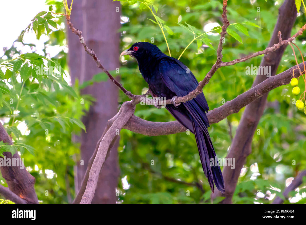 The Asian Koel sitting on a tree outside my home. this dark shiny black colored is a male Koel. It is alsoknown as song birds for it call style. - Stock Image