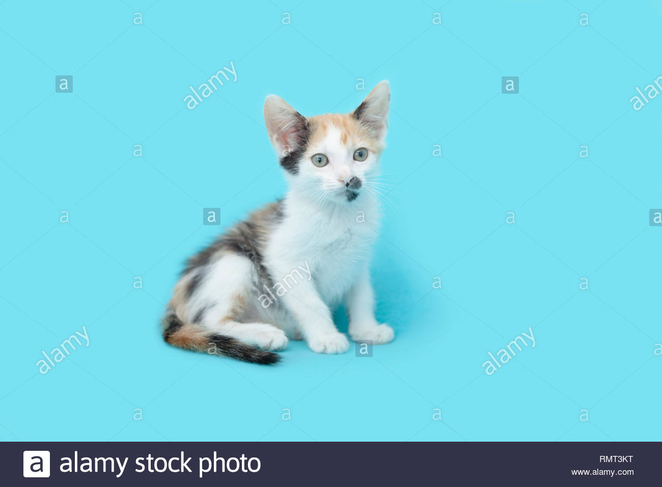 Young six week old white Calico kitten sitting up on  a blue blanket background. - Stock Image