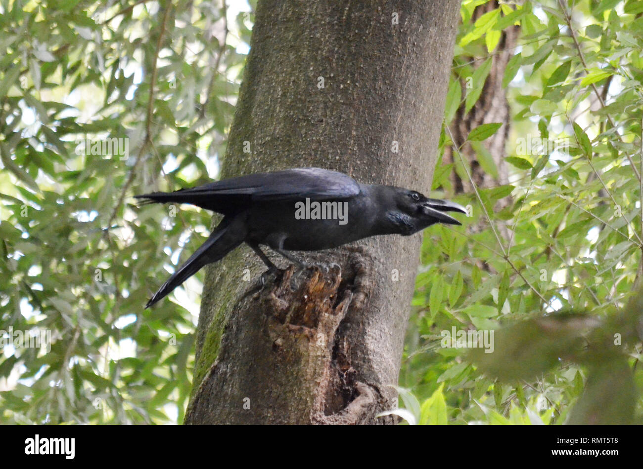 LARGE BLACK RAVEN CROW CORVUS BIRD IN WOODS PARK - Stock Image