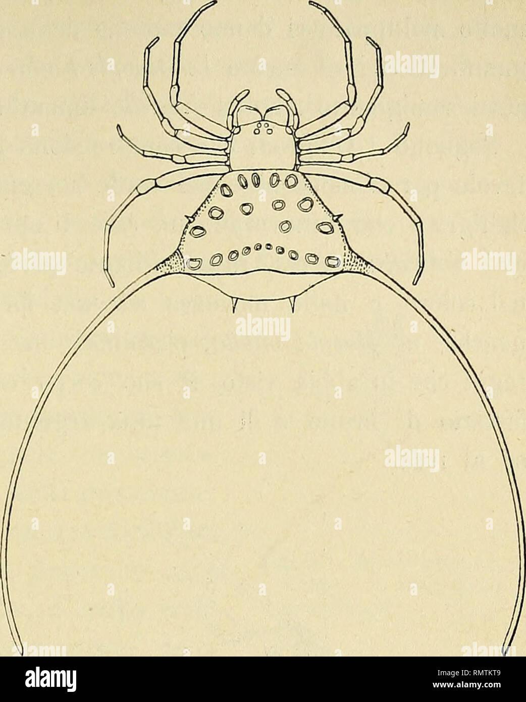 . Annali del Museo civico di storia naturale di Genova. Natural history. VIAGGIO ZOOLOGICO IN BIRMANIA 637 la Pledano, arcuata sfoggia su ciascun fianco un' appendice spi- niforme, incurvata, lunga tre o quattro volte il suo corpo. S'intende che par- lando della Nephila maculata,, della Plec- tana arcuata e delle Gasteracantha in ge- nerale ho inteso di alludere alle femmi- ne ; i maschi per quanto se ne sa o è lecito inferirne, sono umili creature desti- tuite delle salienti peculiarità estetiche sfoggiate dalle prime ed hanno dimensioni molto inferiori alle medesime ; infatti, come è noto, i - Stock Image