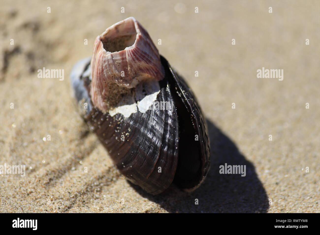 Nahaufnahme einer Muschel im Sand - Stock Image