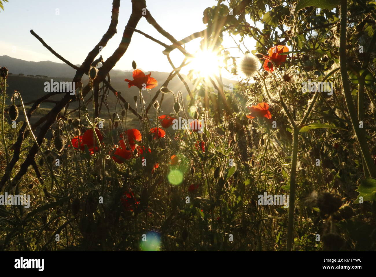 Blühende Pflanzen Mohn im Frühjahr im Hintergrund Äste und tiefstehende Sonne - Stock Image
