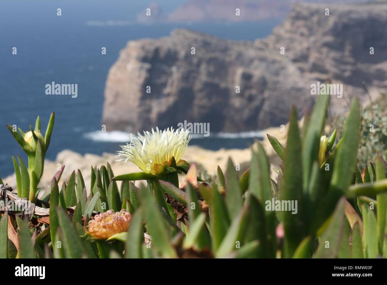 Blühende Pflanzen Sukulente im Frühjahr im Hintergrund Klippen und Wasser - Stock Image