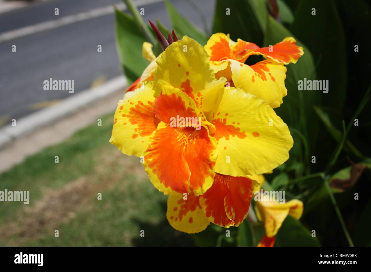Blühende Pflanzen Lilie im Frühjahr im Hintergrund eine Straße - Stock Image