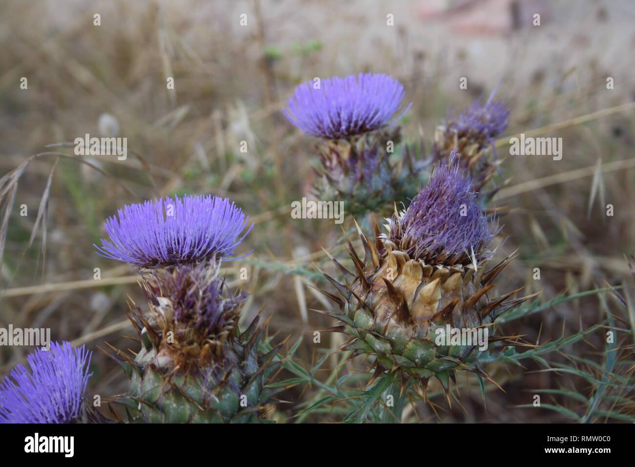 Blühende Pflanzen Diestel im Frühjahr - Stock Image