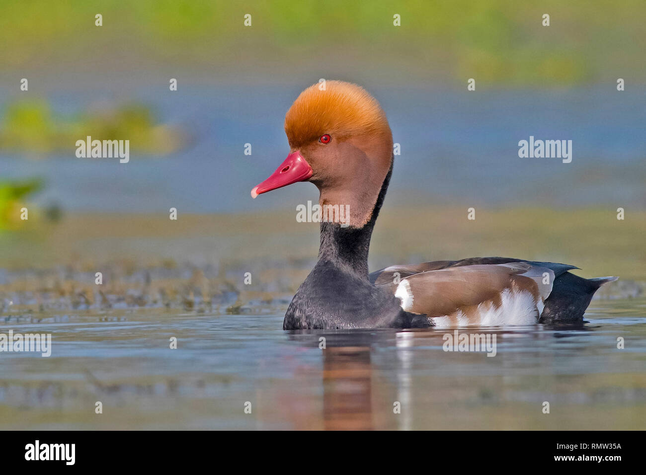 red-crested pochard (male), Netta rufina, roaming the water, Purbasthali Oxbow Lake, West Bengal, India - Stock Image