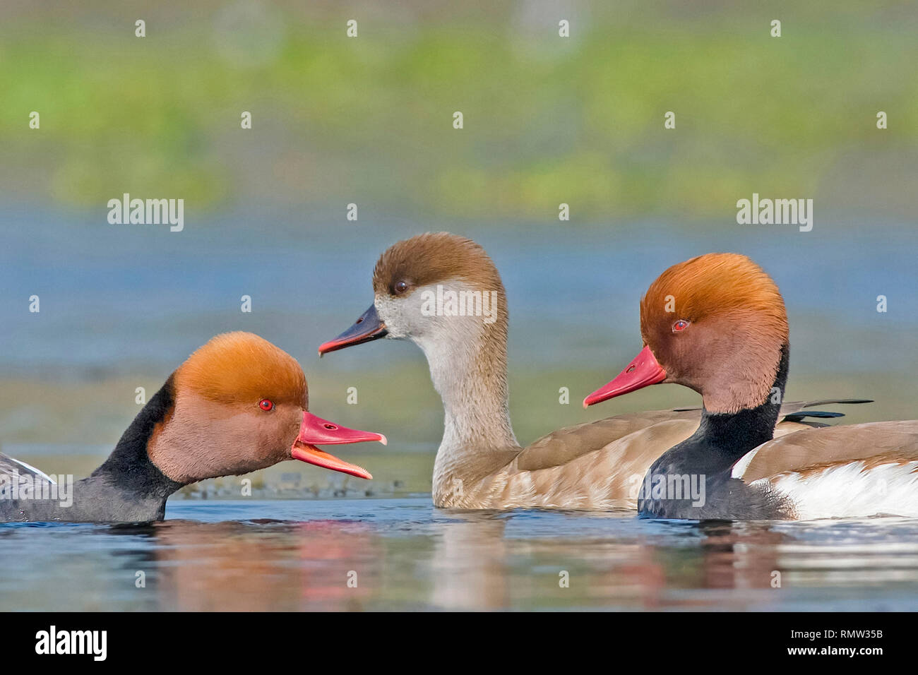 red-crested pochard (male and female), Netta rufina, Purbasthali Oxbow Lake, West Bengal, India - Stock Image