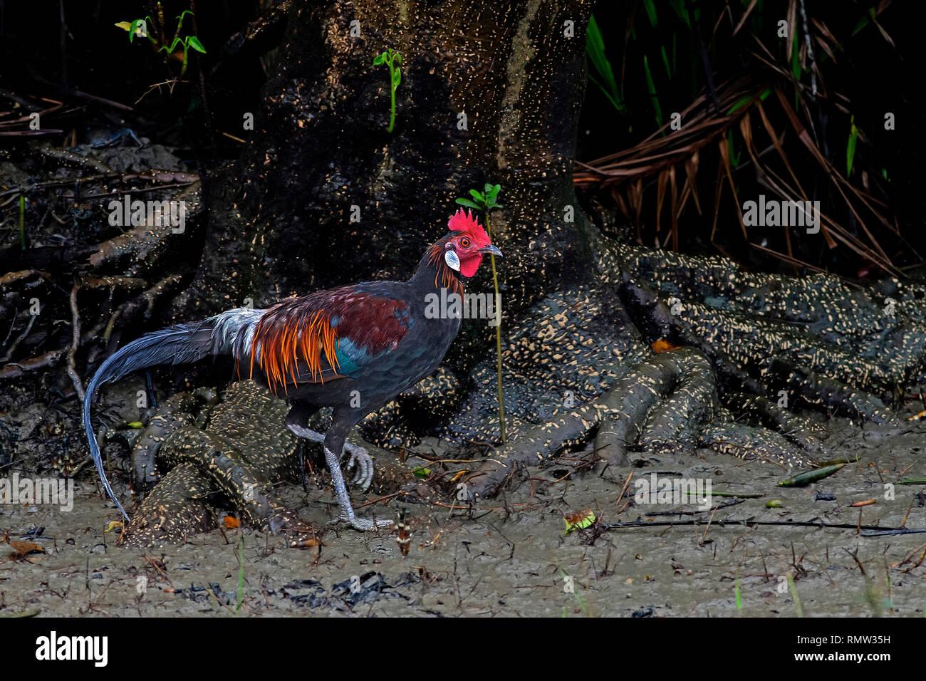 red junglefowl, Gallus gallus, male, foraging on mudflat, Sundarban Tiger Reserve, West Bengal, India - Stock Image