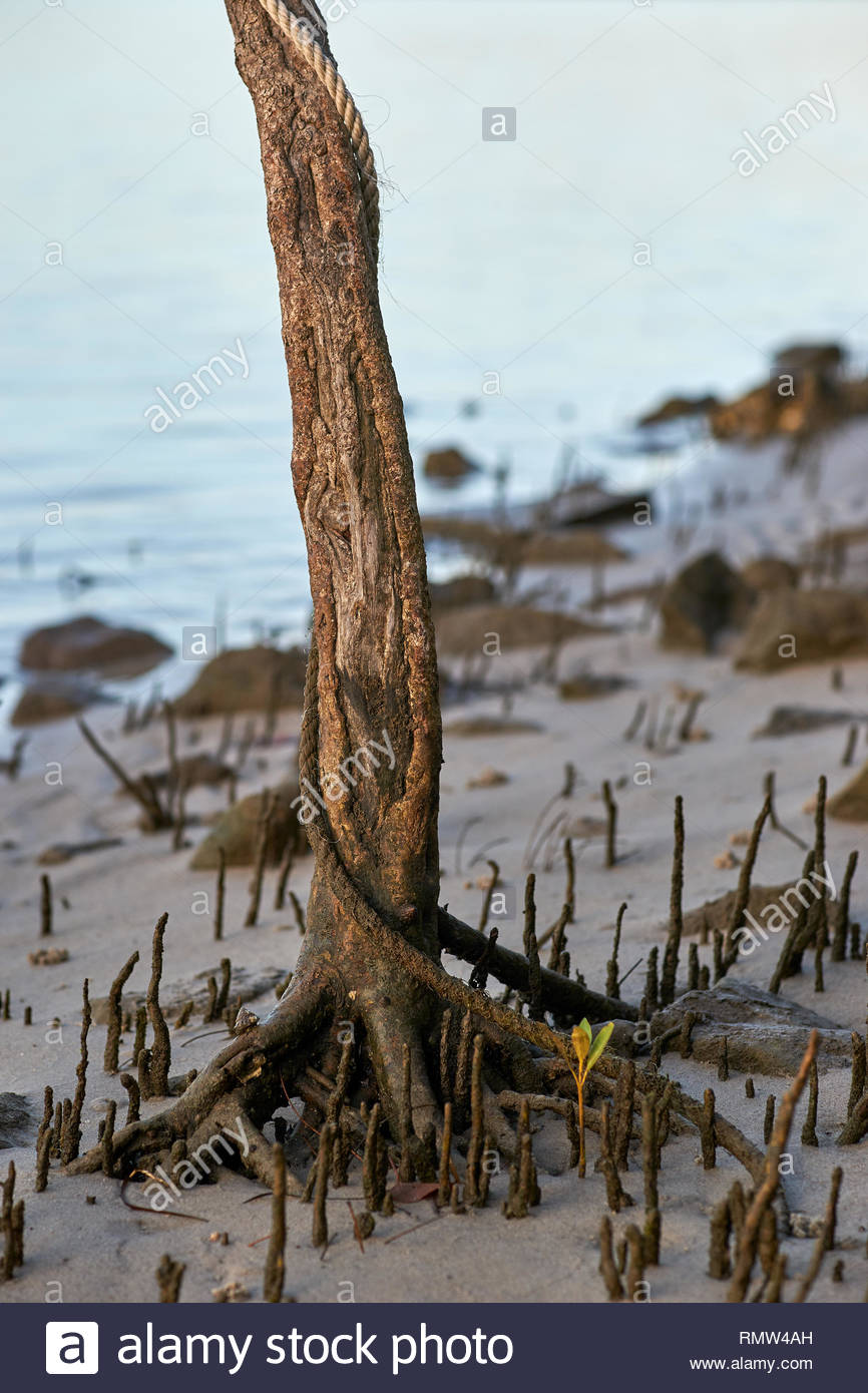 A dirty white rope, entwined around a mangrove tree trunk, roots and seedling, at low-tide on the banks of the mighty Clarence River, NSW, Australia. - Stock Image