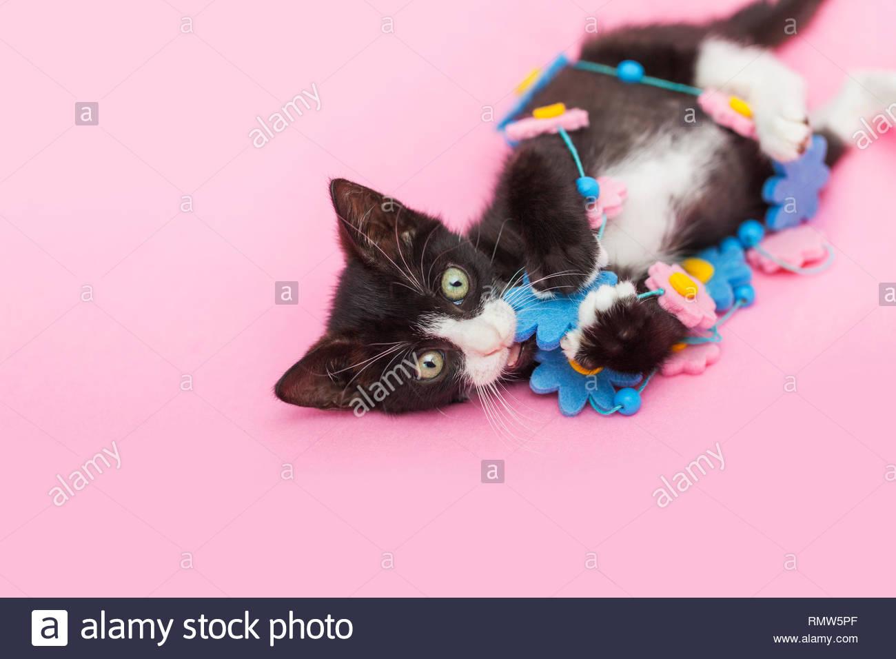 Tuxedo Kitten playing with Flower Garland, pink background. - Stock Image