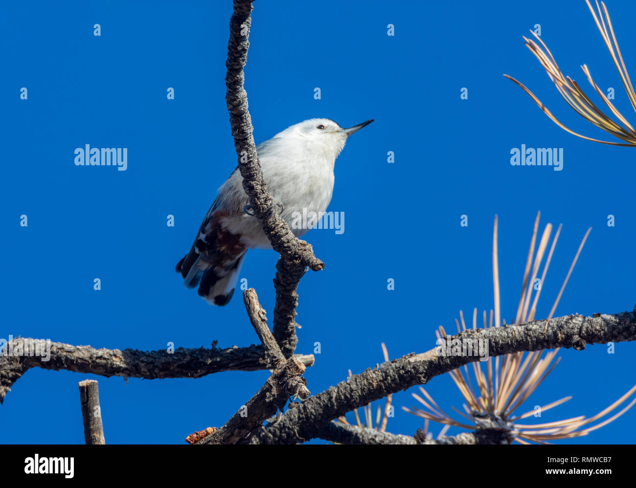 White-breasted Nuthatch (Sitta carolinensis) at top of Ponderosa pine tree, sunny morning, Castle Rock Colorado US. Photo taken in December. - Stock Image