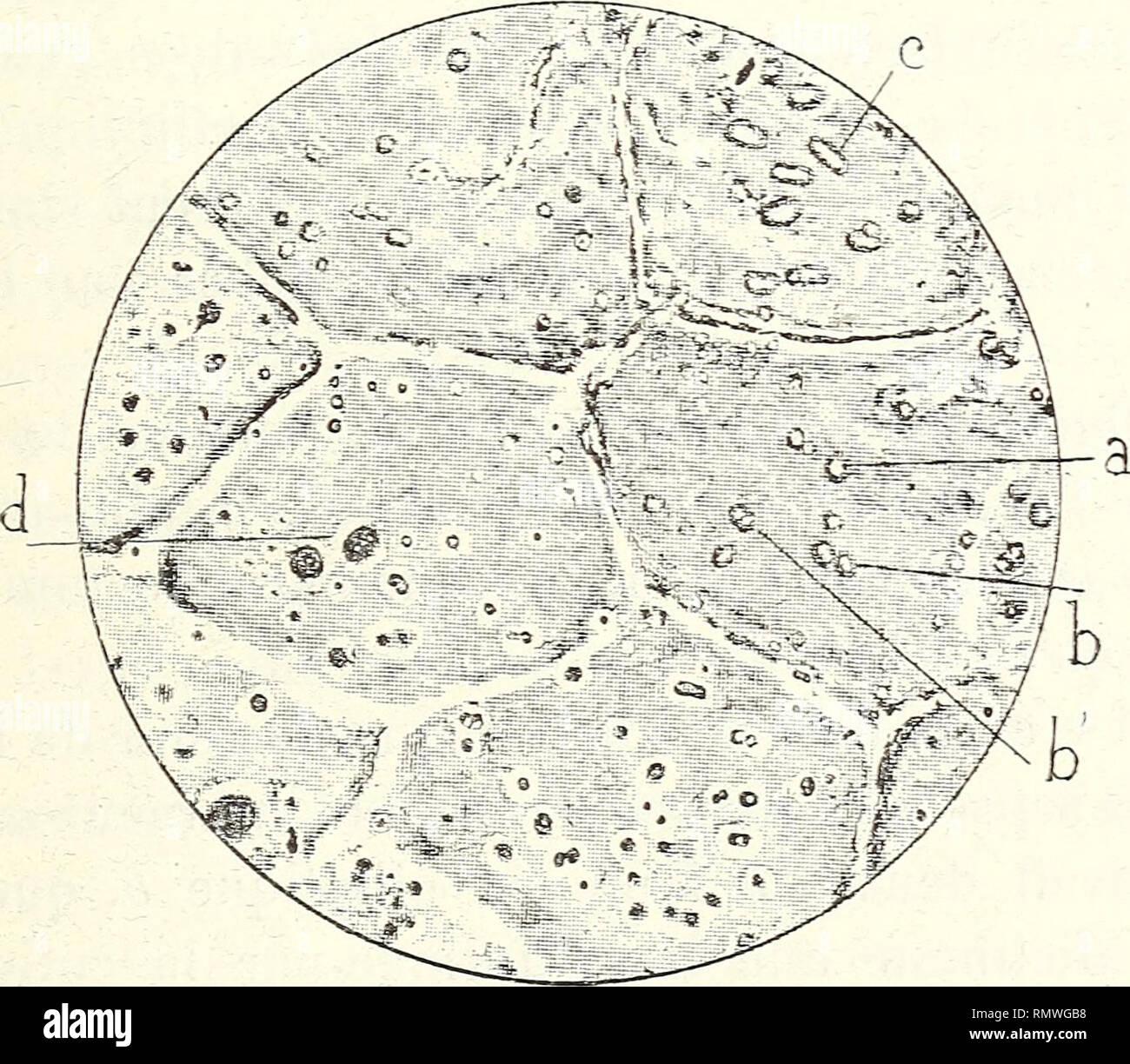 . Annales des Sciences Naturelles Botaniques. RECHERCHES SUR LES BACTÉRIACÉES FOSSILES. 325 mètre des Microcoques d'où ils dérivent, et comme longueur la somme de leurs diamètres. Dans bien des cas, on distingue autour des Microcoques, quel que soit leur mode dégroupement, un espace circulaire ou elliptique [a, fig. 29, «, fig. 30), plus clair, où la mem- brane végétale paraît avoir subi une altération due sans. Fig. 32. — Portion de cuticule traitée à chaud par l'acide chlorhydrique étendu 850 ——« — a, traces laissées par le départ des Microcoques isolés ; b, traces lais- sées par des diploco - Stock Image