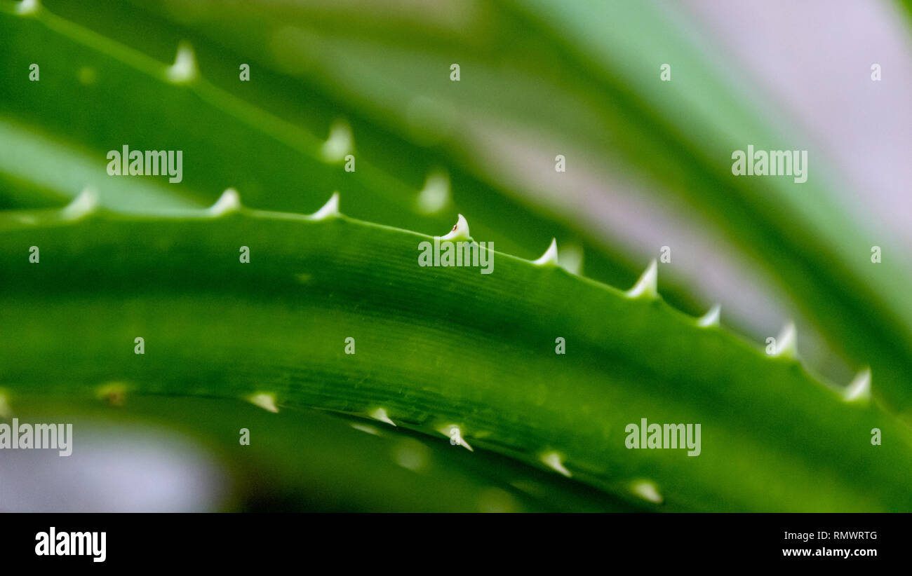 A close-up of a pointy plant with white spines - Stock Image