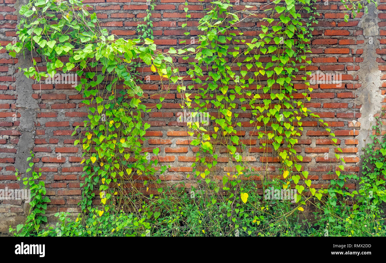 Creeper growing on a brick wall. - Stock Image