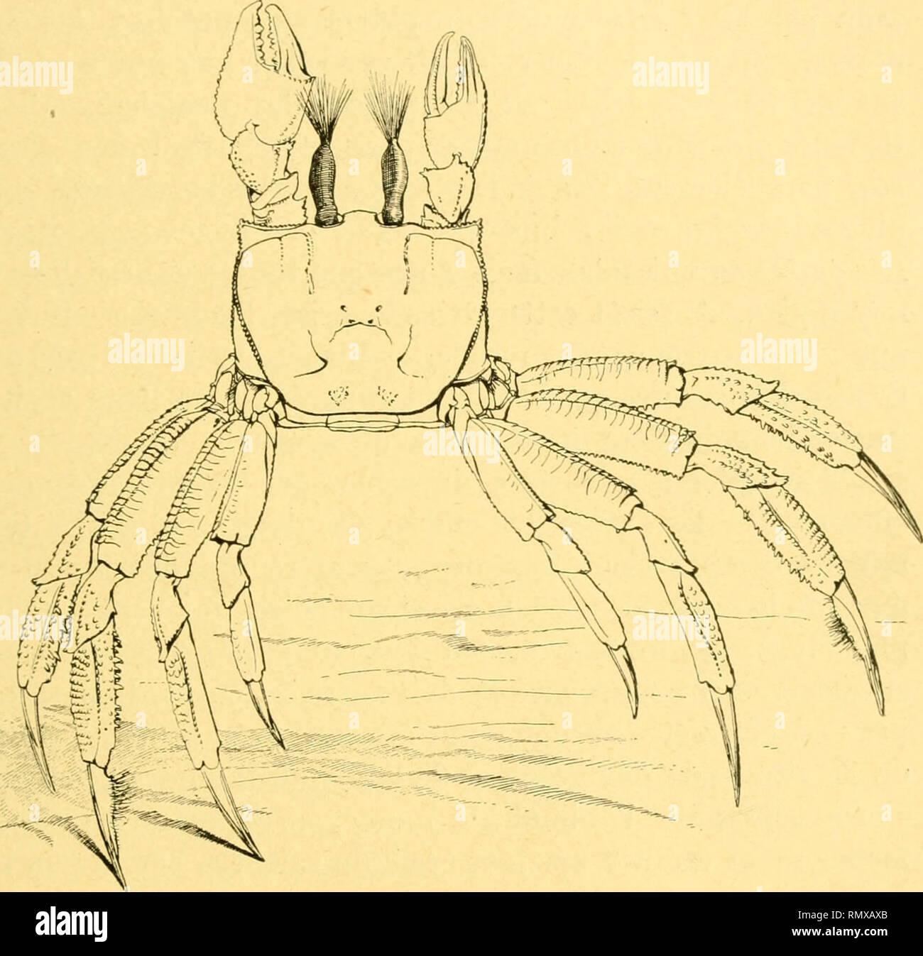 Teinte De Gris Clair annales des sciences naturelles. zoology; biology. l ocypode