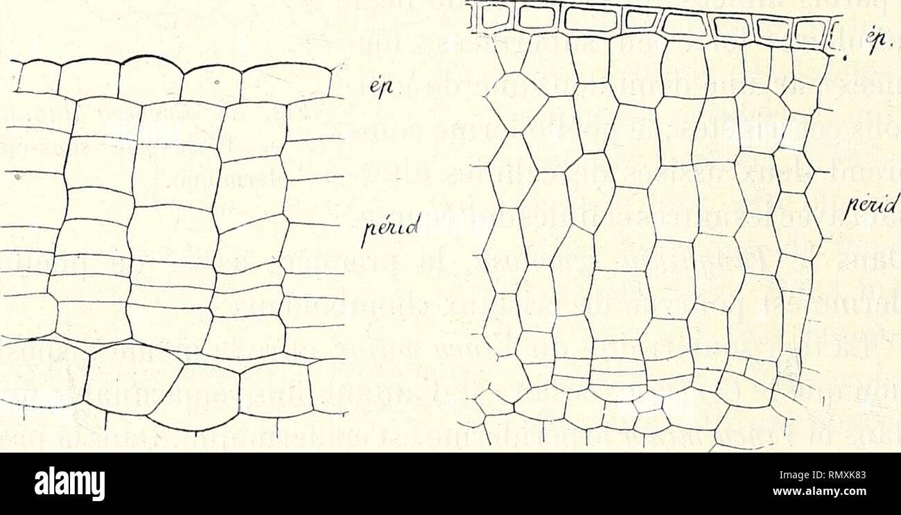 . Annales des Sciences Naturelles Botaniques. 380 H. noiiLiOT. pias mexicana, etc., développent le suber dans l'épiderme » (Vesque, p. 192). 2° Périderme sous-épidennique. — « Les Cynanchum mons- peliaciim, Hoya carnosa, Stephanotis floribunda, Marsdenia erecta, développent leur périderme dans la rangée de cellules située au-dessous de l'épiderme )^ (Vesque, p. 192). 11 faut ajouter à ces exemples ceux de YHoya crassifolia, du Gonolo- hus Condurrmf/o (Moeller, p. 171). Oléacées. — Le Forsythia viridissima, d'après M. Vesque,. FiG. 57. FiG. 58. Fig. 57. Syringa vulgaris. — Péri- Fig. 58. Chiona Stock Photo