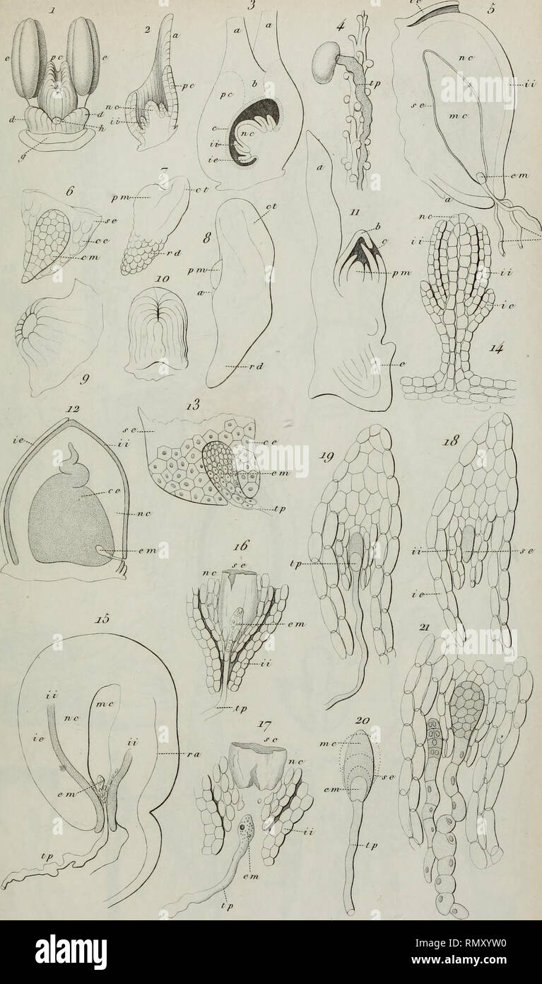 """. Annales des Sciences Naturelles Botaniques. Init .dej' Jh'tvif .iial. 2"""". Seri Jiot.Toni.n.n .. Sc/ileiden del. J^ojvJiafîon de l'Embri/oji. Please note that these images are extracted from scanned page images that may have been digitally enhanced for readability - coloration and appearance of these illustrations may not perfectly resemble the original work.. Cramp, Stanley, 1913-1987; Perrins, Christopher M; Brooks, Duncan J; Royal Society for the Protection of Birds. Oxford : Oxford University Press - Stock Image"""