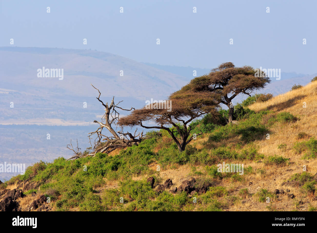 Landscape with African thorn-trees, Amboseli National Park, Kenya - Stock Image