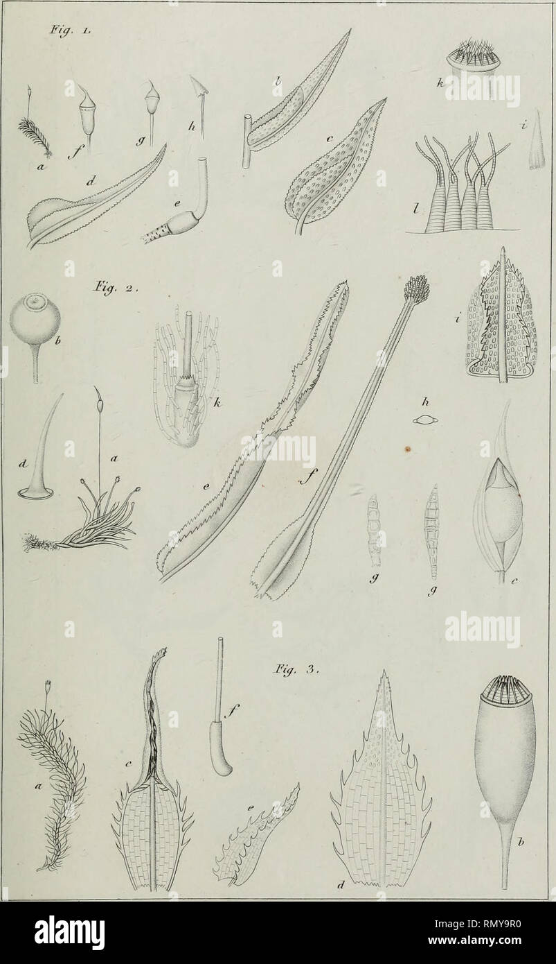 . Annales des Sciences Naturelles Botaniques. Jim. dej- Scienc. nat. 2f OVrie . ^ot. 2hm. 3. El. 3.. MoiiMone i/t-/.'. Please note that these images are extracted from scanned page images that may have been digitally enhanced for readability - coloration and appearance of these illustrations may not perfectly resemble the original work.. Cramp, Stanley, 1913-1987; Perrins, Christopher M; Brooks, Duncan J; Royal Society for the Protection of Birds. Oxford : Oxford University Press - Stock Image
