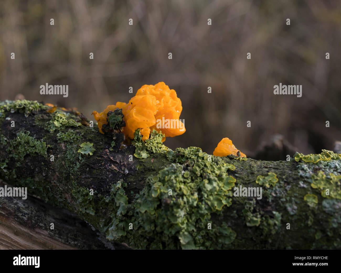 Orange brain fungus tremella mesenterica on oak - Stock Image