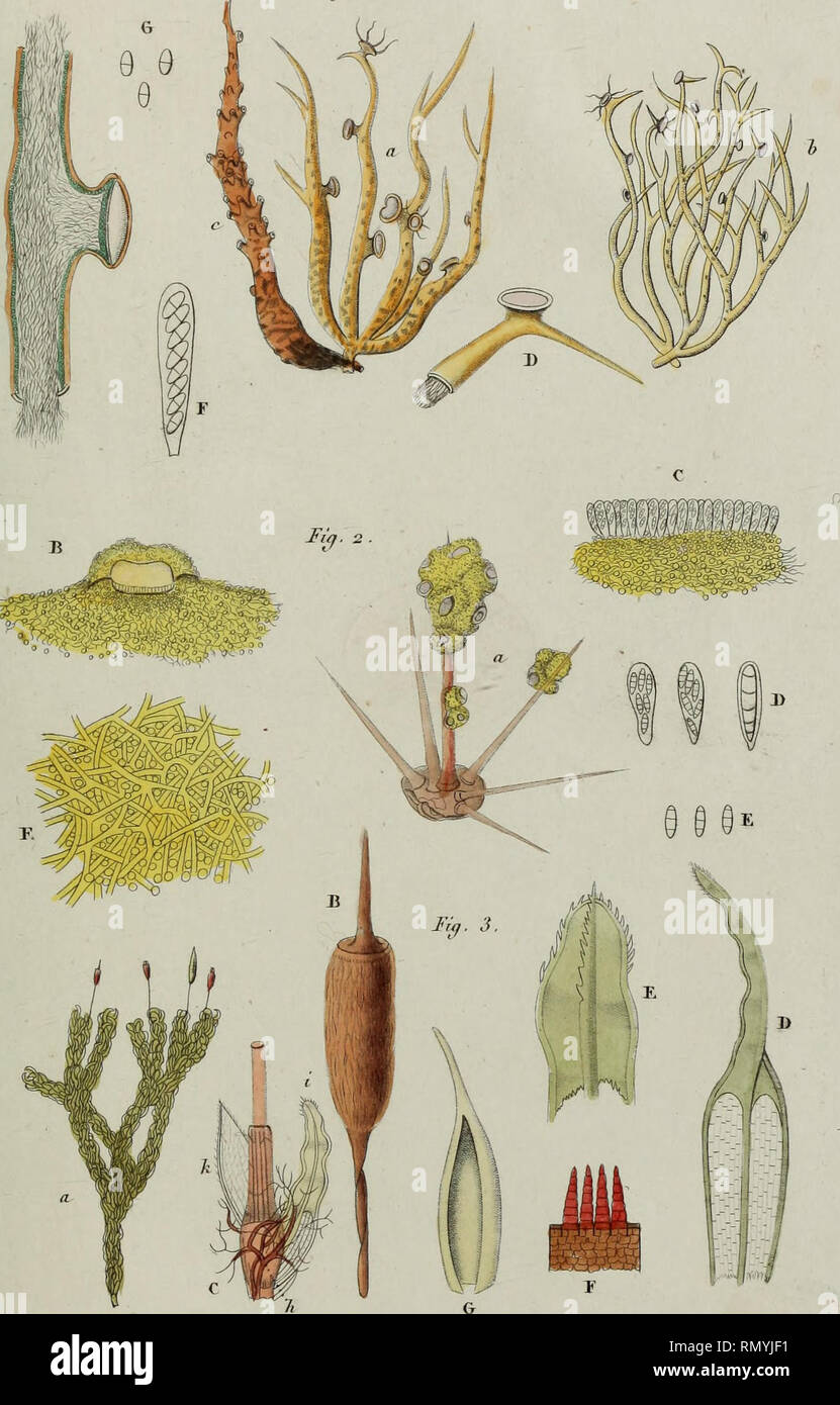 . Annales des Sciences Naturelles Botaniques. Ann. de<r tfeienc. nat. 2^ tferie Bot. Tarn. 2 . J'I. j6 Fi{f. 1,. Juç. 3 . Si/rrhopodoii Gaddic/iaudii-. C. Mûnfaqnr (te if' I I>u,nènu J)u'.. Please note that these images are extracted from scanned page images that may have been digitally enhanced for readability - coloration and appearance of these illustrations may not perfectly resemble the original work.. Cramp, Stanley, 1913-1987; Perrins, Christopher M; Brooks, Duncan J; Royal Society for the Protection of Birds. Oxford : Oxford University Press - Stock Image