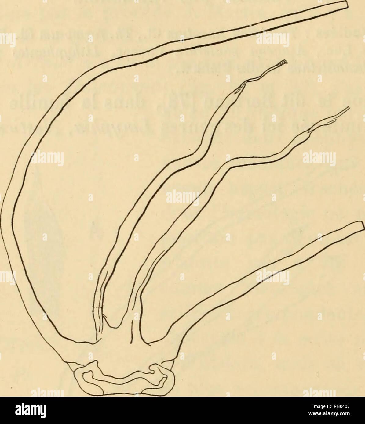 . Annales des sciences naturelles. Zoology; Biology. 194 ED. LAMY. d'un tronc médian et deux longs tubes externes grêles. Comme nous l'avons dit, c'est chez les Théridiides que l'action de la potasse laisse subsister de la façon la plus nette à l'extrémité des tubes internes, très élargie surtout chez les Asagena (fig. 34) et Lithypliantes, un prolongement. Fig. 35. — Enoplognatha mandibularis Luc. — Gross. 120. tendineux particulièrement grand chez les Theridion et Enoplognatha (fig. 35). Cet appareil normal des Théridiides présenterait pourtant deux exceptions. D'une part, le genrePedanostet - Stock Image