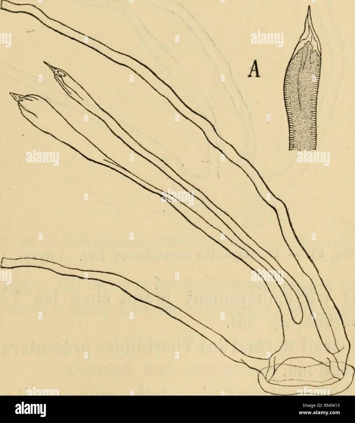 . Annales des sciences naturelles. Zoology; Biology. RECHERCHES SUR LES TRACHÉES DES ARAIGNÉES. 193 Chez les Pholcides donc, nous trouvons un appareil tra- chéen qui, déjà très rudimentaire chez l'Holocnemus, où il n'est représenté que par deux tendons médians, devient nul chez l'Artème et le Pholque. FAMILLE DES THERIDIID^E Espèces étudiées : Theridion lineatum Cl., Th. formosum Cl. Enoplognatha mandibularis Luc, Asagena phalerata Panzer, Lithyphantes paykulliamis Walck., Pedasnostethus lividus Blackw. Ainsi que le dit Bertkau [78], dans la famille des Thé- ridndes (diminuée ici des genres Li - Stock Image