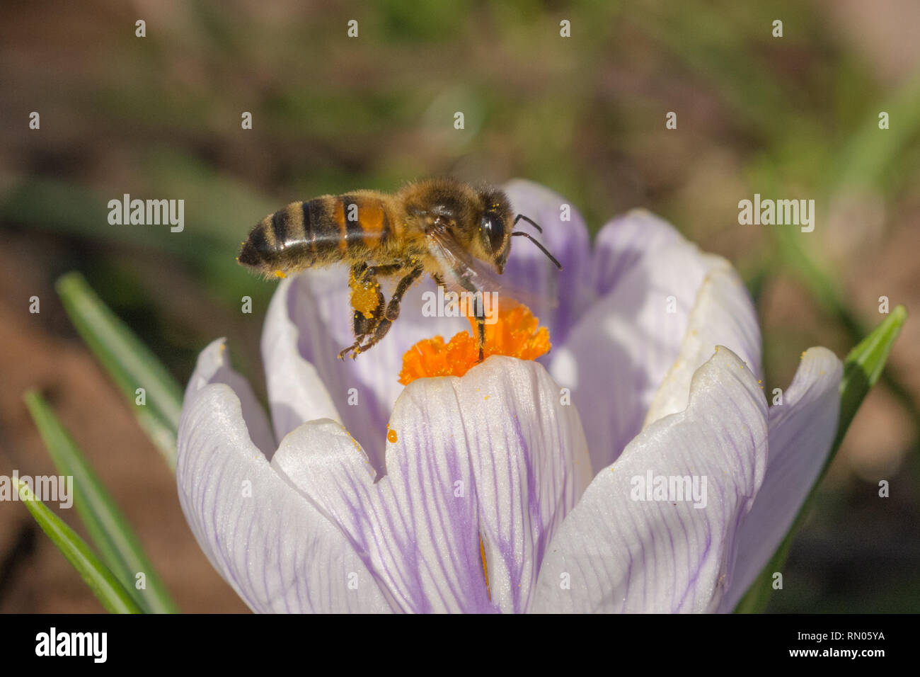 Bee (honey bee), an important pollinator, nectaring on a crocus flower in February. Spring wildlife, social insect. - Stock Image