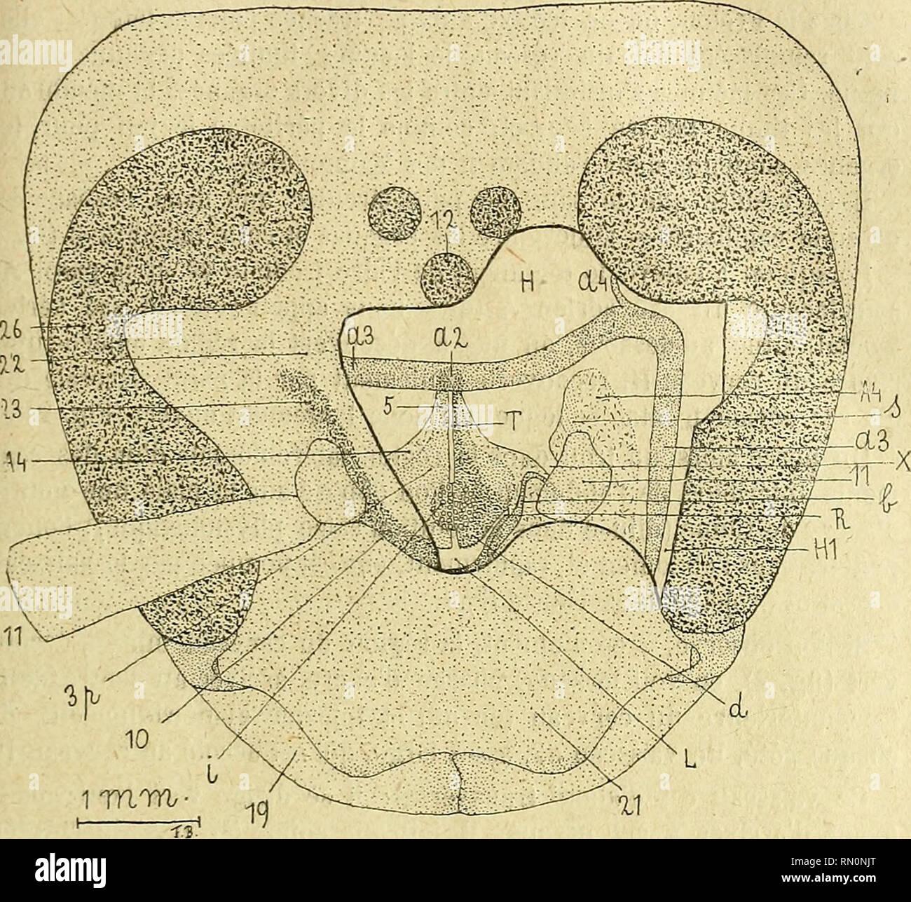 . Annales de la Société entomologique de France. Insects; Entomology. La circulation du sang chez Vesija crabro. 215 Ensuite, on constate que rintériour de la tète est, pour ainsi dire, déjà tout disséqué.. Fig. 2. —Tète de Frelon, ayant subi l'expérience I, à laquelle on a enlevé, d'un coté, une partie du tégument de l'aire frontale 23 et ouvert le sac aérien frontal sous-jacent. On a ainsi mis à découvert le cerveau H avec le vaisseau cérébral transverse a3, qui est injeclé d'encre de Chine. — Pour des raisons de clarté, on n'a représenté les dépôts noirs sur l'oesophage 5. le long du nerf r - Stock Image
