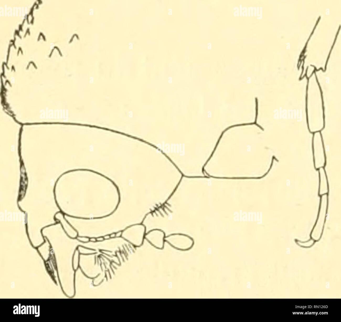 . Annales de la Société entomologique de France. Insects; Entomology. 334 P. Lesxe. Tofjoland; bassins du Bas-Niger ot de la Béiioué; Kaiiieroun; bassins de rOgooué et du Congo; Afrique orientale allemande :Kondoa {Bloyet in Muséum de Paris); baie Delagoa {Coll. Bedcl) ; pays des Somali : entre Sancourar et Amarr {Bottego in Musée de Cènes) ; Choa : vallée de Dorfou {Rugazzi in Musée de Gênes). Bostrychopsis parallela*. (Voir caractères du groupe II et labl. des espèces 1, 3, 4. — Fig. 148 à lo3 du texte). Lesne, 1895, Ann. Fr., 1895, p. 174. Comparée à l'espèce précédente, celle-ci a une l'or - Stock Image
