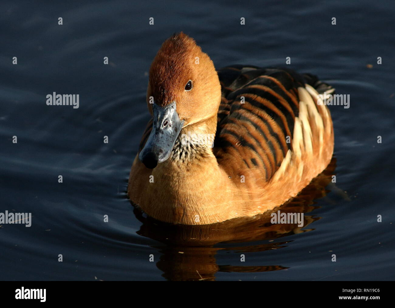 Swimming Fulvous whistling duck (Dendrocygna bicolor) - Native to Tropical South America, Caribbean, East Africa and India Stock Photo