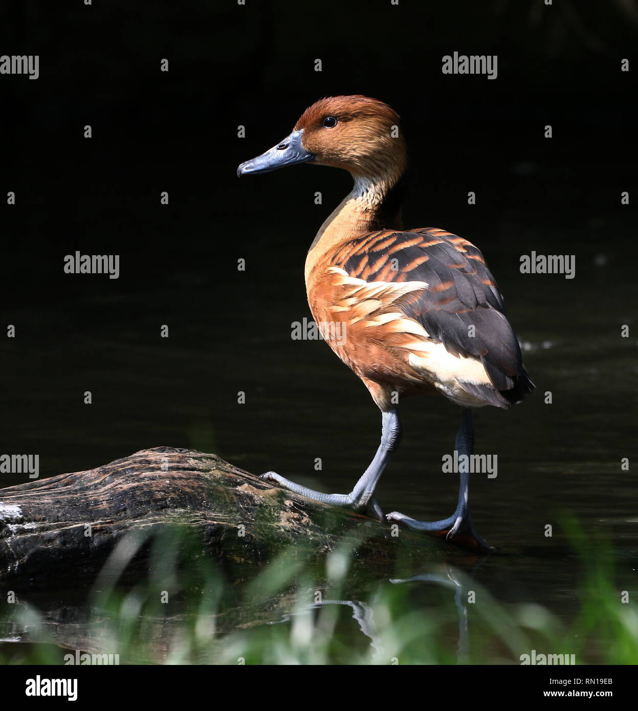 Fulvous whistling duck (Dendrocygna bicolor) - Native to Tropical South America, Caribbean, East Africa and India Stock Photo